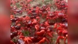 Christmas Adası kızıla büründü: Milyonlarca yengeç göç yolunda