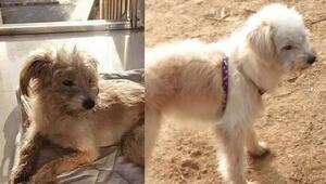 Çin'de kaybolan köpek, sahiplerine dönmek için 60 kilometre yürüdü