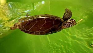 Didim ve Alanyada hayalet ağ, iki deniz kaplumbağasının yüzgecini kopardı