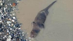 Son Dakika: Adıyaman'da su samuru görüldü