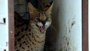 Nesli tükenmekte olan Serval kedisi, Gaziantep'te koruma altına alındı