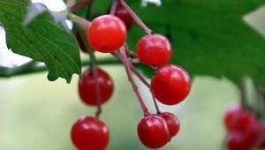 Orman meyvesi nedir İşte, adından sürekli söz edilen orman meyveleri