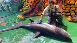 Ağlara takılan Sapan cinsi köpek balığı tekrar denize bırakıldı