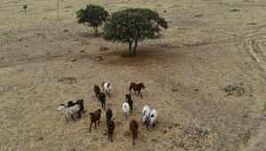 Özgürlüklerine düşkün yılkı atları havadan görüntülendi
