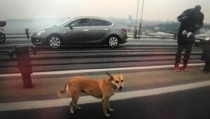 Yolunu şaşırıp köprüye çıkan köpeğe motorcular eskortluk etti