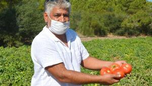 Datçada güz domatesi hasadı başladı