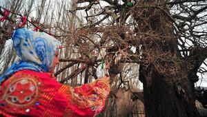 Yozgat'taki 4 asırlık ulu kavak keşfedilmeyi bekliyor