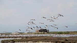 Gala ve Dalyan göllerinde flamingolar görsel şölen sunuyor