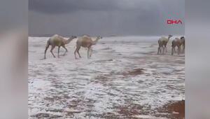 Suudi Arabistanda karla kaplı çölde develerin yürüyüşü izlenme rekorları kırdı