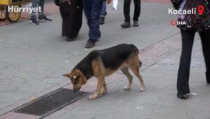Kocaelide sürekli mazgalı izleyen köpeğin sırrı ortaya çıktı