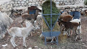 Aç ve susuz kalan dağ keçilerine ikinci yiyecek seferi