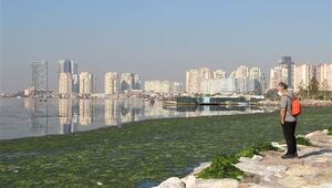 İzmirde deniz marulu, sahili yeşile boyadı