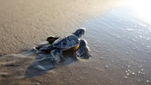 550 bin yavru caretta caretta denizle buluştu