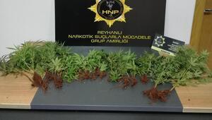 Saksılara ekili 40 kök kenevir bitkisi ele geçirildi