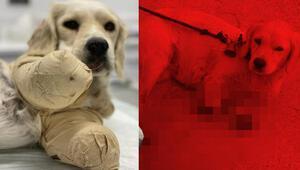 Samsunda, ayakları kesilen yavru köpek, hayati tehlikesini atlattı