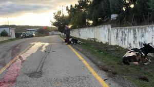 Tekirdağda bir araç inek sürüsüne çarptı, sürücü ve 2 inek yaralandı