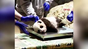Sağlık kontrolü olan pandanın görüntüleri paylaşım rekoru kırdı