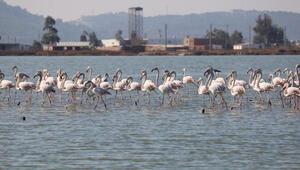 Muğlanın erkenci flamingoları