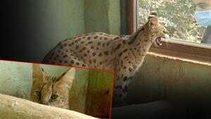 Nesli tükenme tehlikesindeki vahşi kedi için harekete geçildi