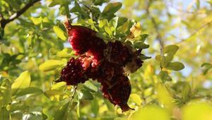 Buraya Küçük Antalya diyorlar... Her türlü meyve yetişiyor ama...