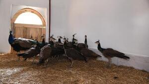 Pursaklar'ın tavus kuşları