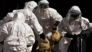 Güney Korede kuş gribi alarmı Binlerce hayvan itlaf edildi