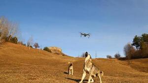 Çoban köpeği, dronu havada parçaladı