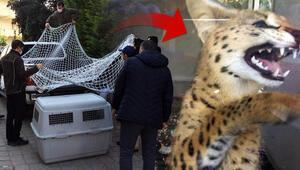 Sakarya'da vahşi kedi ele geçirildi