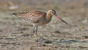 Hatayda görüntülenen 2 yeni kuşla kayıt altına alınan tür sayısı 372ye ulaştı