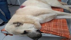 Tüfekle otomobilden ateş açılan Kangal çoban köpeği, 42 saçmayla yaralandı