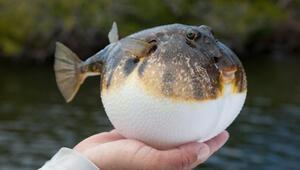 Son dakika… Balon balığı avcılığı destekleniyor.. Her kuyruk için 5 lira, bunu yapan ödeme alamayacak