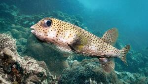 Balon balığı avlayana 5 tl destek