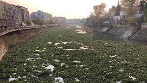 Su sümbülleri, Asi Nehrini kapladı