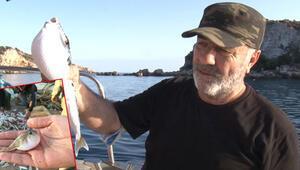 İstilacı zehirli balon balıkları, Kuzey Egeye ulaştı...