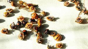 Rizeyi istila eden uğur böceklerinin sırrı ortaya çıktı
