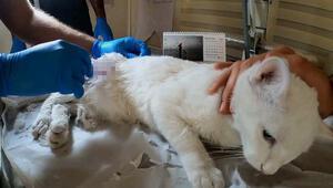 Ayağı kırık halde bulunan sokak kedisi, Pamuk tedavi edildi