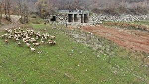Büyükçekmece, Kazandere ve Papuçdere barajlarında korkutan görüntü... Artık koyunlar otluyor