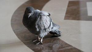 Uçamayan güvercin belediye binasına sığındı