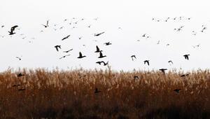 Göçmen kuşlar Ekşisu Sazlığını mesken tuttu