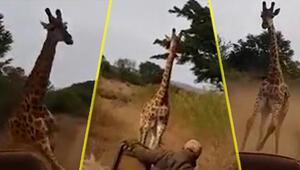 Kenyada turistlerin kızgın zürafa ile imtihanı