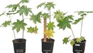 Dikilen bitkiler ağır metal içeriğini azalttı