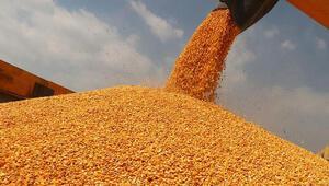 Mısır fiyatları çiftçileri mutlu etti