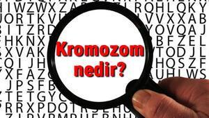 Kromozom nedir ve nasıl oluşur Kromozom sayısı, yapısı ve özellikleri hakkında bilgi
