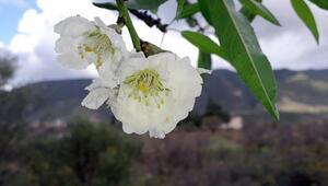 Türkiye'nin birçok bölgesinde kış mevsimi yeni başlarken, Datça'da badem ağaçları çiçek açtı
