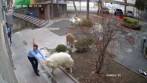 Görüntüler Nevşehirden... Belediyeye girmeye çalışan koyun sürüleri ilginç görüntüler oluşturdu