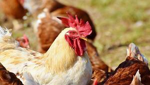 Japonya'da kuş gribi salgını görülen eyaletlerin sayısı 10a yükseldi