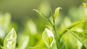 Çayın bu özelliğini hiç duymamış olabilirsiniz Sivrisinekleri yanına bile yaklaştırmıyormuş