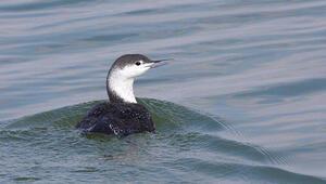 Hersek Lagünü'nde yeni bir kuş türü daha tespit edildi