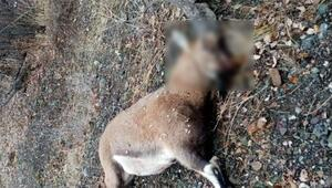 Dağ keçisini organize şekilde vuran 3 şahsa 83 bin TL ceza