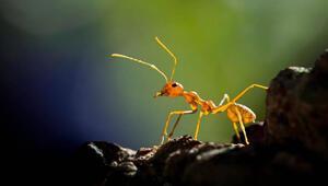 Karıncalar sosyal mesafeyi insanlara göre daha iyi mi koruyor